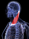Highlighted sternocleidomastoid muscle d rendered illustration of the Royalty Free Stock Photos