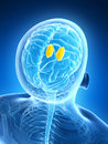 Highlighted thalamus d rendered illustration human Stock Photo