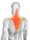 Highlighted trapezius muscle d rendered illustration Stock Photo