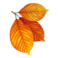 Highly detailed autumn leaves illustration contains gradient mesh Royalty Free Stock Photos