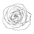Highly detailed hand drawn rose Stock Image
