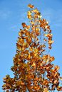 Hight tree in autumn time Royalty Free Stock Photo