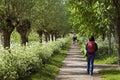 Hiker walking between floral splendor, Netherlands Royalty Free Stock Photo