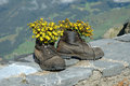 Hiking boots with flowers inside in the mountains yellow Stock Images