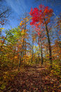 Hiking trail in fall forest autumn trees with colorful leaves and at algonquin park ontario canada Royalty Free Stock Photo