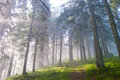 Hiking trail through the misty pine forest Royalty Free Stock Photo