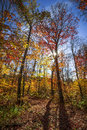 Hiking trail in sunny fall forest autumn trees with colorful leaves and at algonquin park ontario canada Royalty Free Stock Images
