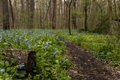 Hiking Trail and Virginia Bluebell Wildflowers - Ohio