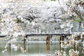 Hikone castle cherry blossoms in japan for adv or others purpose use Stock Photo