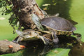 Hilaire's Side-necked Turtle Stock Photography