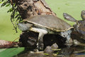 Hilaire's Side-necked Turtle Royalty Free Stock Image