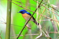 Hill blue flycatcher cyornis banyumas male in thailand Stock Image