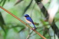 Hill blue flycatcher cyornis banyumas male in thailand Royalty Free Stock Images