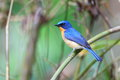 Hill blue flycatcher cyornis banyumas male in thailand Stock Photos