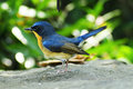 Hill blue flycatcher the cyornis banyumas is a species of bird in the muscicapidae family it is found in bangladesh brunei Royalty Free Stock Photo
