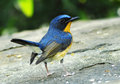 Hill blue flycatcher cyornis banyumas species bird muscicapidae family found bangladesh brunei cambodia china india indonesia laos Royalty Free Stock Images