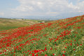 Hill covered with poppies and camomiles Stock Photography