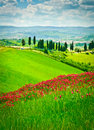 Hill covered by red flowers overlooking a road lined by cypresses on a sunny day near certaldo tuscany italy Royalty Free Stock Image