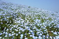 Hill of Nemophila Royalty Free Stock Photo