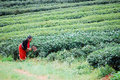 Hill tribe unidentified working in tea field Royalty Free Stock Photography
