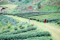 Hill tribe unidentified working in tea field Royalty Free Stock Photos