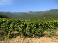 Hills and grapes plantation. Royalty Free Stock Photography