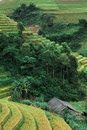 Hills of rice terraced fields in mu cang chai vietnam Royalty Free Stock Photo