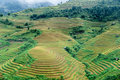 Hills of rice terraced fields terraces in mu cang chai vietnam Royalty Free Stock Image