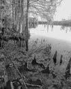 Hillsborough River from Riverhills park▪ cypress knees shore line bw Royalty Free Stock Photo
