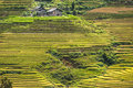 Hillside filled with rice terraces landscape from sapa valley vietnam Royalty Free Stock Photo