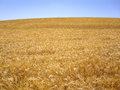 Hillside of golden wheat glows in sunlight on in california Stock Photos