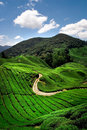 Hillside Tea Plantation Royalty Free Stock Photo