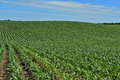 Hilly rows of corn one foot tall cornstalks on a farm field Stock Images