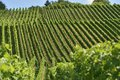Hilly vineyard #15, Stuttgart Royalty Free Stock Image