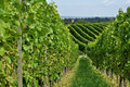 Hilly vineyard #8, baden Stock Image