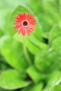 Hilton daisy the red flower of berbera aurantiaca Royalty Free Stock Image