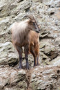 Himalaya tahr Stock Photos