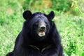 Himalayan bear Royalty Free Stock Photo