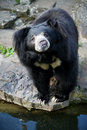 Himalayan black bear Stock Image