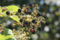Himalayan blackberries rubus armeniacus pacific northwest wild berries Stock Photos