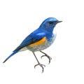 Himalayan Bluetail Bird