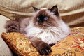 Himalayan Cat Stock Image