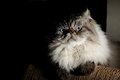 Himalayan cat the cute at home Stock Images