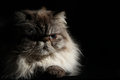 Himalayan cat the cute at home Royalty Free Stock Image