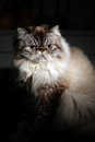 Himalayan cat the cute at home Stock Photos