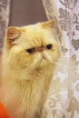Himalayan cat the cute at home Stock Photography