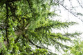 Himalayan cedar close up photo cedrus deodara Royalty Free Stock Photo