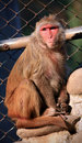 Himalayan monkey Royalty Free Stock Photo