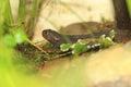 Himalayan newt Royalty Free Stock Photo