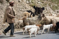 Himalayan shepherd leads his goat and sheep flock Royalty Free Stock Photos